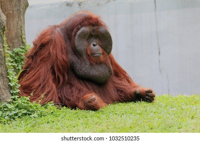 orangutan animal wildlife