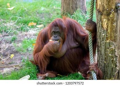 Orangutan At The Apeldoorn Zoo The Netherlands 2018