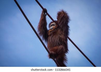 orangutan with arms up