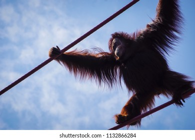 orangutan with arms outstretched