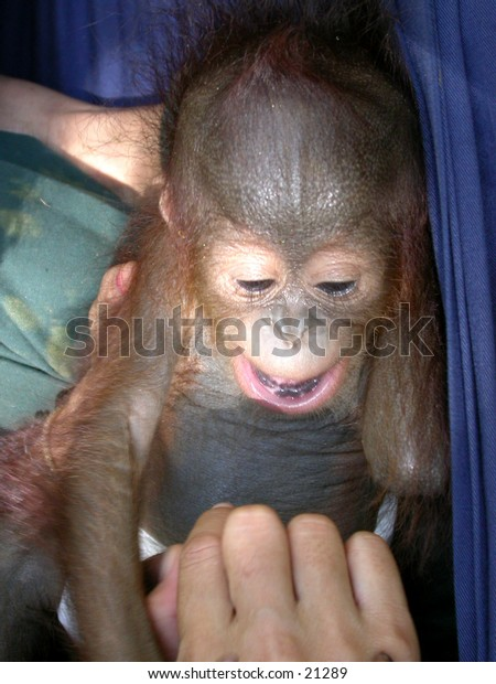 Orangutan baby at Central Borneo.