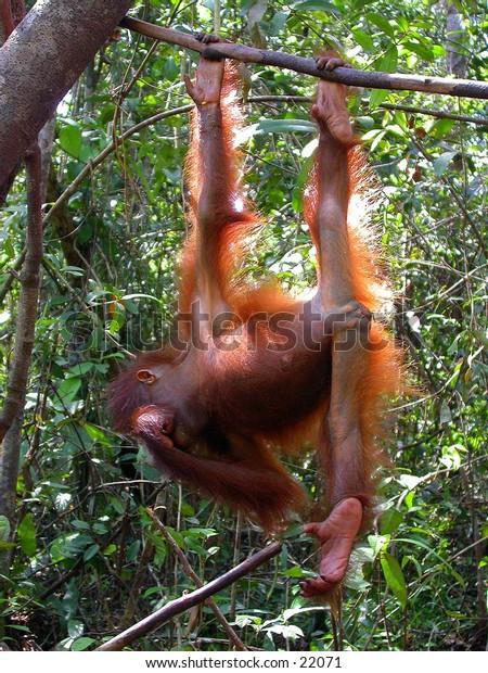 Orangutan baby (Pongo pygmaeus) at Central Borneo (Kalimantan).