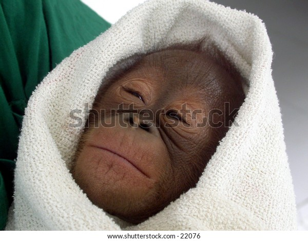 Orangutan baby (Pongo pygmaeus) at Central Borneo (Kalimantan). She is in traumatic condition because her mother is killed by orangutan hunter.