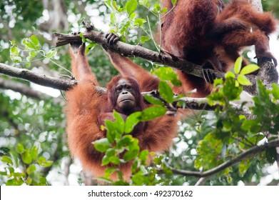 Orangutan Baby in Tanjung Puting National Park Kalimantan