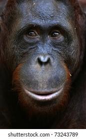 Orangutan Ben. A portrait of the young orangutan on a nickname Ben. Close up at a short distance
