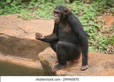 Orangutan black sitting side river.
