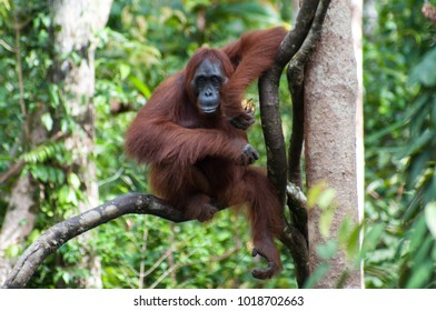 Orangutan in the branches above the feeding station at Tanjung Puting National Park, Kalimantan, Indonesia. The park provides supplementary food, as the wild animals' foraging is restricted by logging