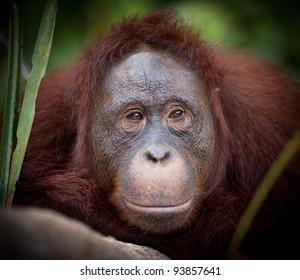 Orangutan at Camp Leakey rehabilitation Center