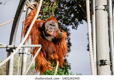 Orangutan in captivity hanging from a metal and rope playground.