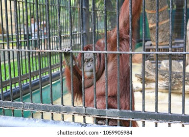 Orangutan in captivity at zoo.