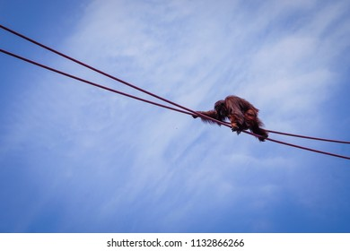 orangutan climbing across ropes