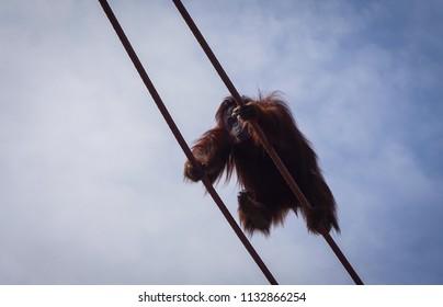 orangutan climbing the ropes in zoo