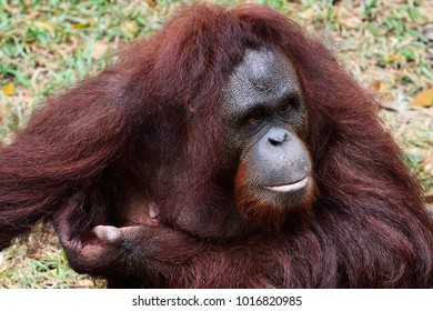 Orangutan close-up portrait.
