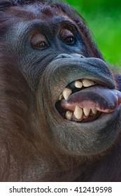 Orangutan closeup series - Schoenbrunn Tiergarten - Vienna