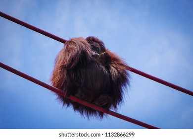 orangutan curled into a ball chewing grass