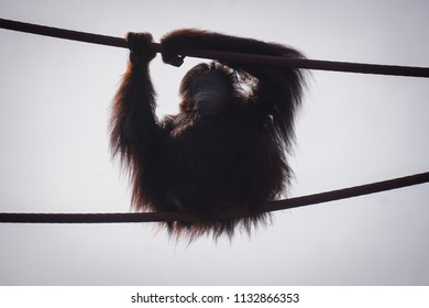 orangutan directly above