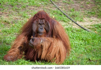 orangutan is eating fruit and looking around