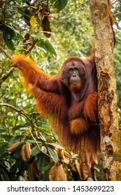 The orangutan Edwin, Sarawak, Borneo, Malaysia