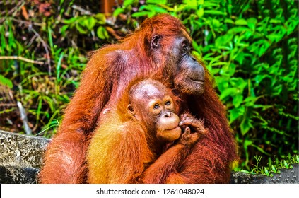 Orangutan family love photo. Orangutan family photo. Orangutan family scene. Orangutan family portrait