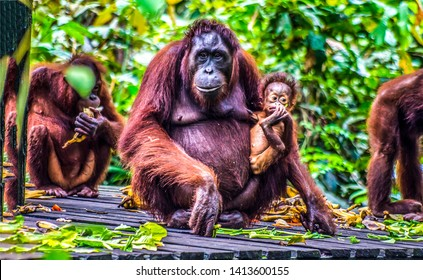 Orangutan family nature group portrait. Orangutan Borneo family. Orangutan family portrait. Orangutan family