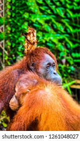 Orangutan family scene. Orangutan family photo. Orangutan family view. Orangutan family love