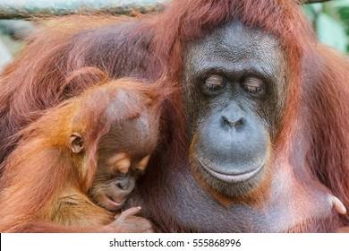 Orangutan family in Singapore zoo