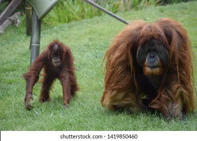 Orangutan father and son at the San Diego Zoo