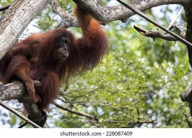 An orangutan gazing in the distance