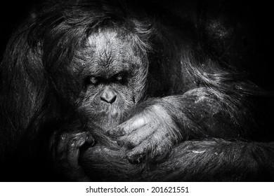 Orangutan gently grooming itself
