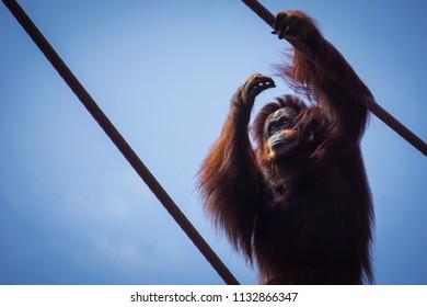 orangutan grabbing on to ropes