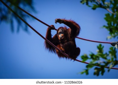 orangutan grabbing ropes