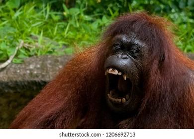 Orangutan growling (or yawning), Sabah, Borneo