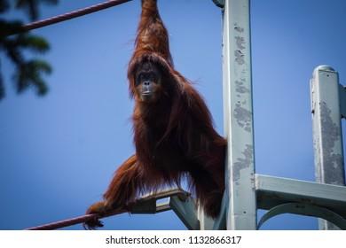 orangutan hanging off ropes