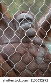 An orangutan hanging on a chain-link fence making faces.