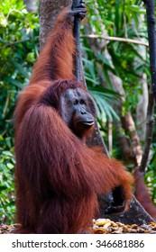 Orangutan hanging on a tree in the jungle, Kalimantan, Borneo, Tanjung Puting, Indonesia