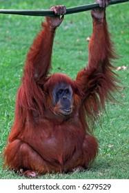 orangutan hanging onto a rope