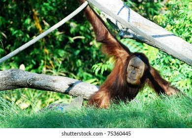 orangutan hanging out on a branch at the zoo