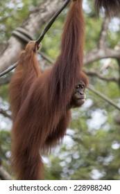Orangutan hanging from a vine