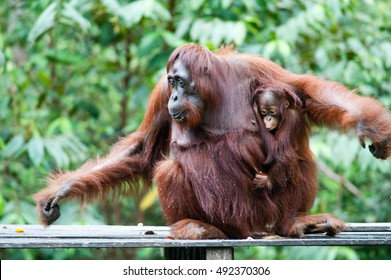 Orangutan and her Orangutan Baby in Tanjung Puting National Park kalimantan