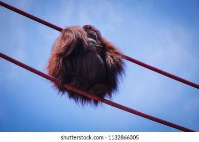 orangutan huddled into a ball