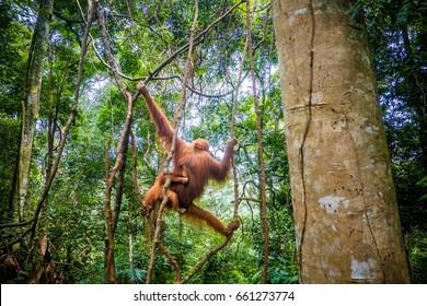 orangutan in Indonesia