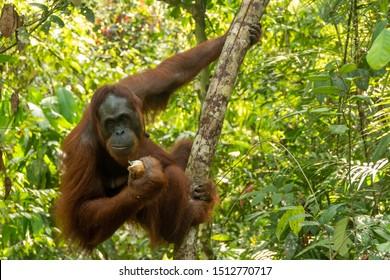 Orangutan from the island of Borneo in its natural habitat