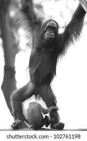 Orangutan in the jungle in Borneo, Malaysia