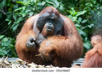 Orangutan in Kalimantan Jungle, Tanjung Puting National Park