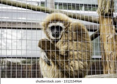 Orangutan locked cage, wild animals abuse, monkeys
