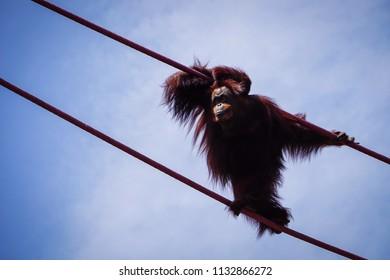 orangutan looking ahead