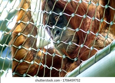 Orang-Utan looking sad behind a fence in a zoo. Imprisonend Orang utan. Sad orang Utan. Imprisoned Ape
