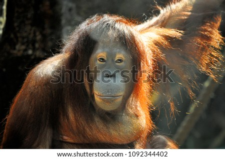 An orangutan looks back at visitors