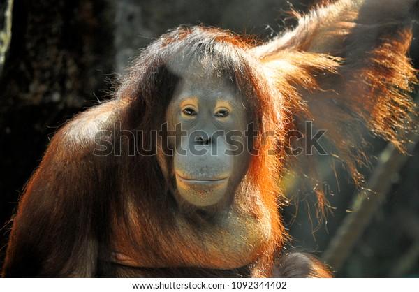 An orangutan looks back at visitors