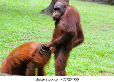 Orangutan mating